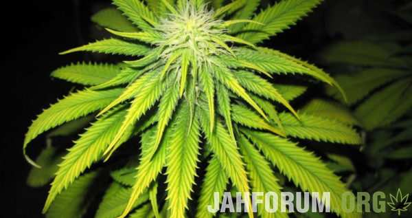 large.Iron-deficiency-in-marijuana-plants-1-600x317.jpg.00dd2e093291ee0397601c3e4b07ad86.jpg