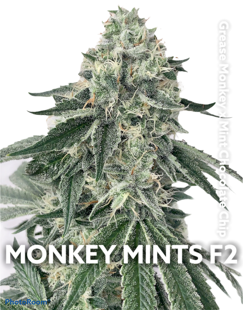 Monkey Mints F2 regular seeds
