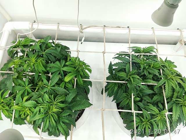 Runtz Muffin™ - Barneys Farm® | Purple Haze Feminised Gold - Errors Seeds (30 дней от каски)