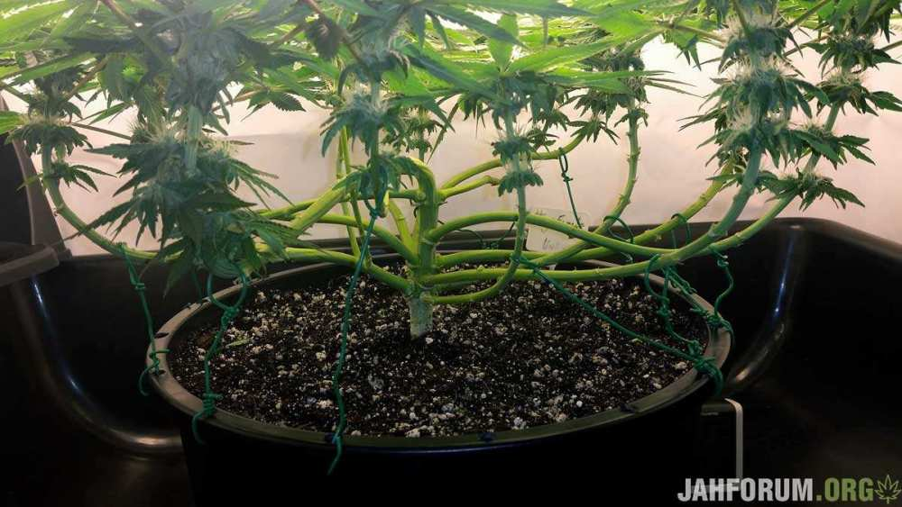 attach-twisty-tie-to-container-when-growing-cannabis.jpg