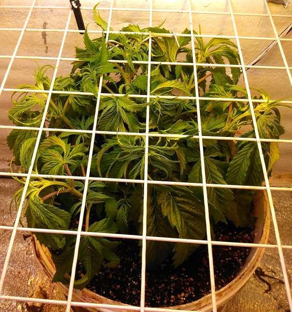 Mimosa EVO 25 дней.