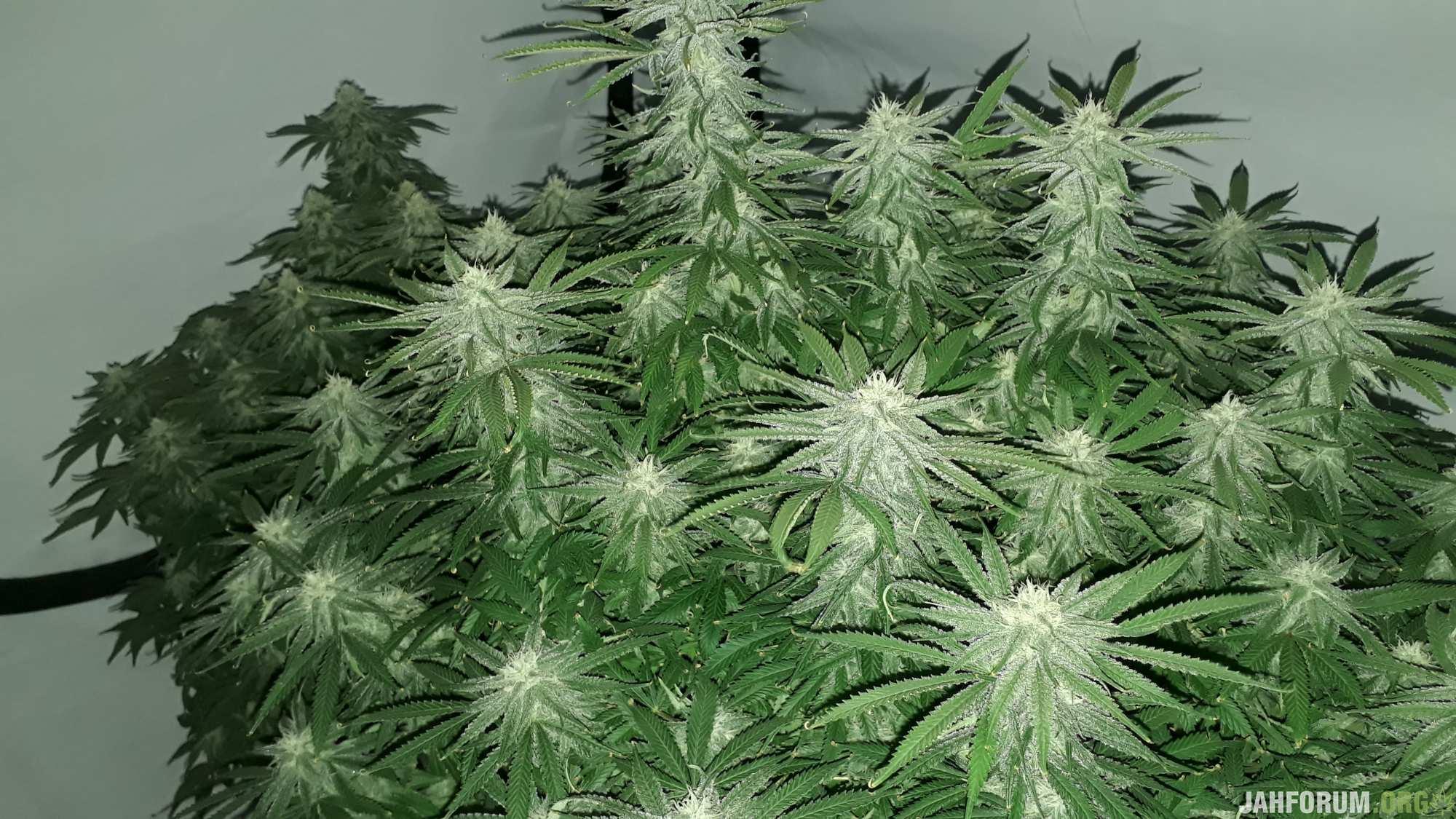 Amherst Sour Diesel (Humboldt Seeds)