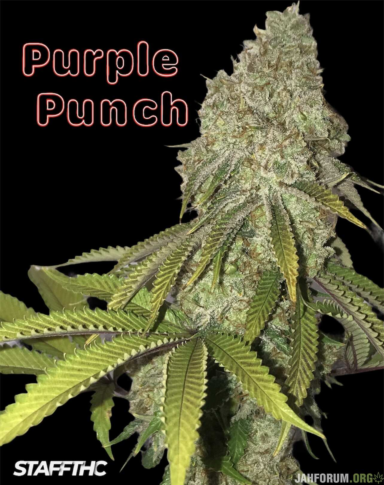Purple Punch 🥊