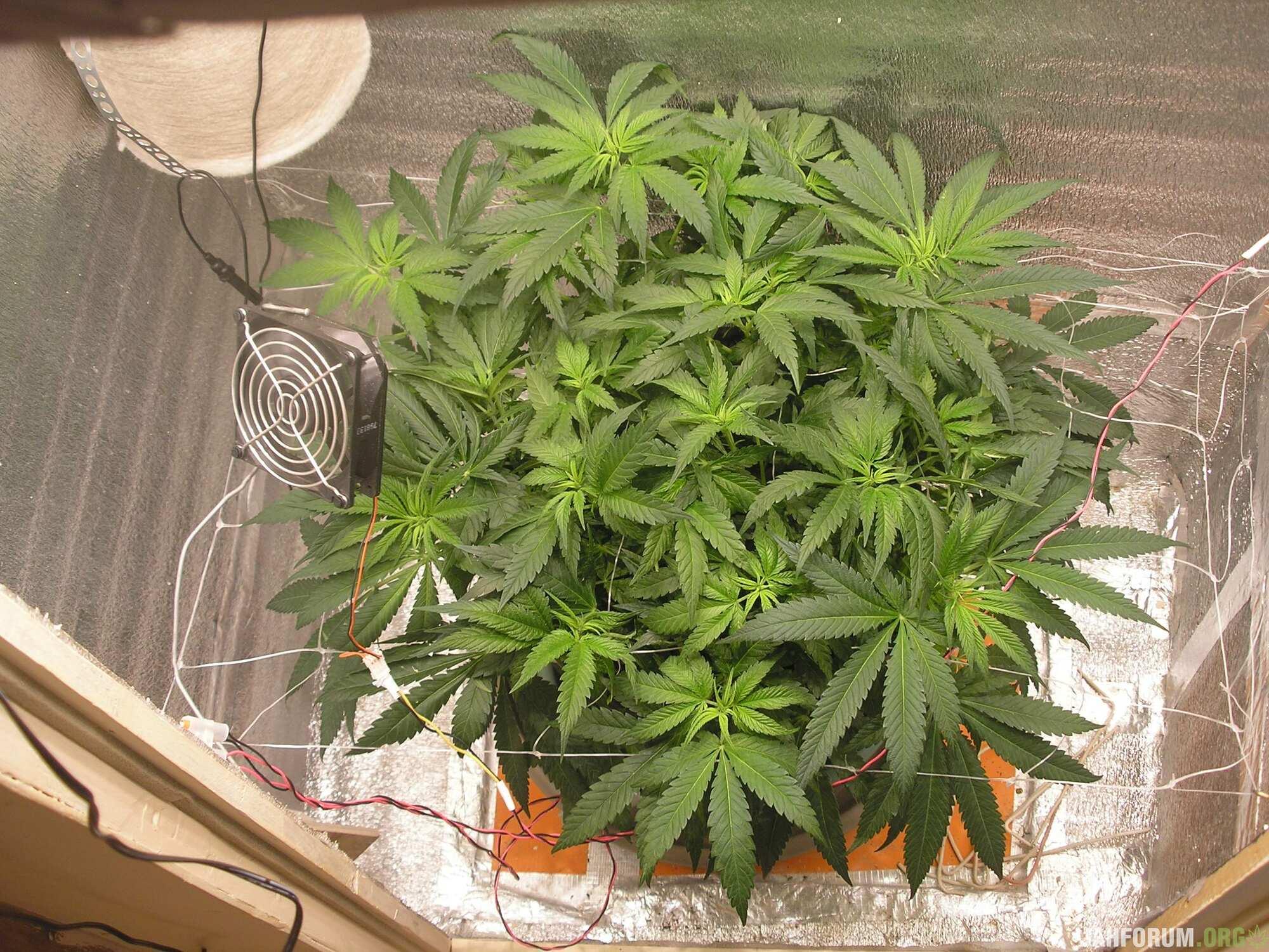 2984641_barney-039-s-farm-lsd-feminsed-grow-journal-by-trollshamanbarneys-farmlsd-feminsed.jpg