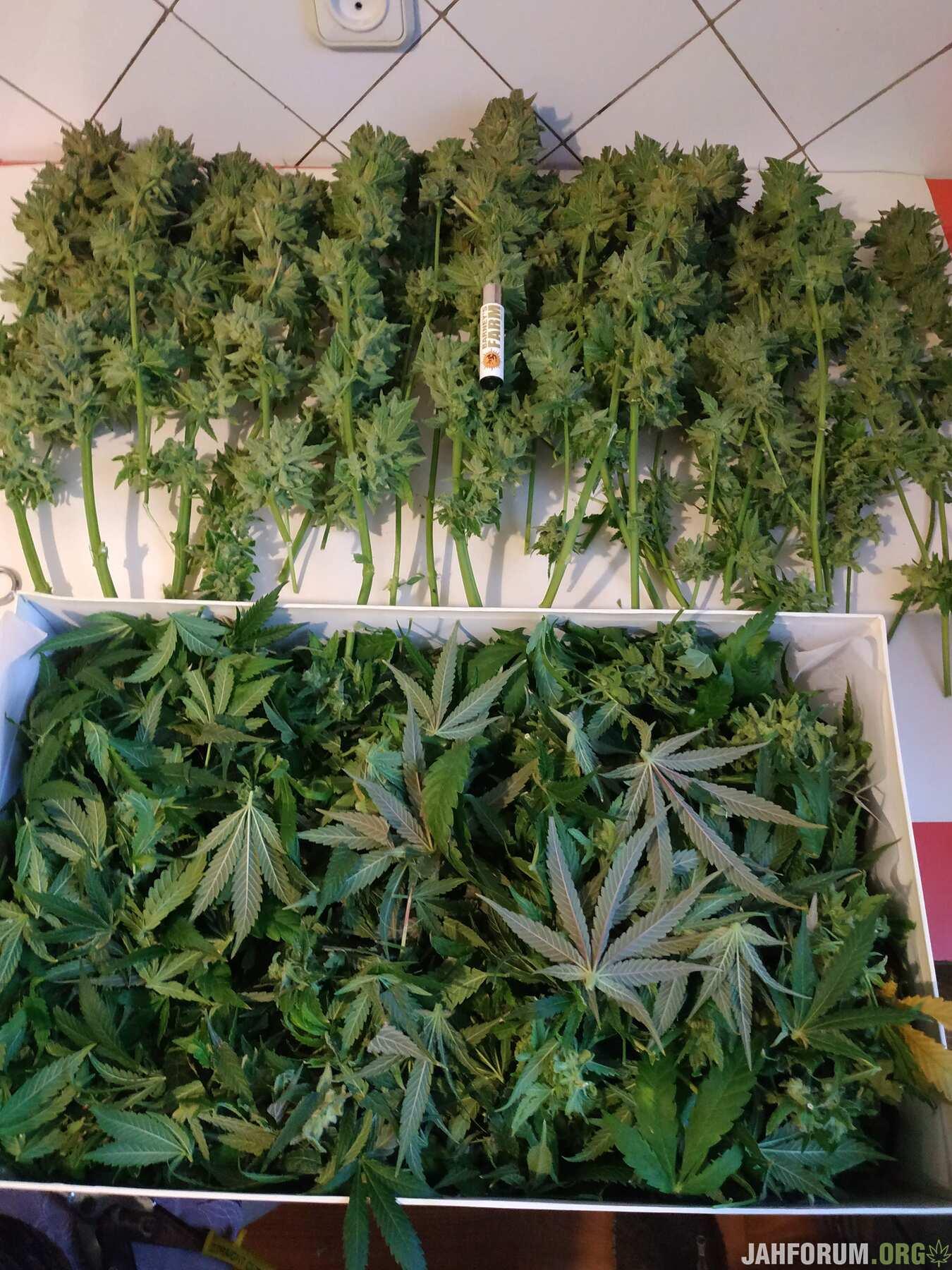 3368679_barney-039-s-farm-lsd-feminsed-grow-journal-by-trollshamanbarneys-farmlsd-feminsed.jpg