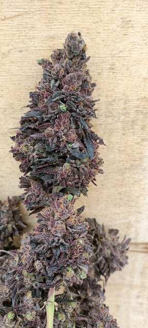 Purple Majik RBX1.jpeg
