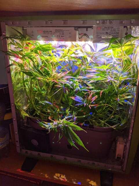 Crystal Candy Sweet seeds,42дня от каски,12 дней 12/12...приехали))))