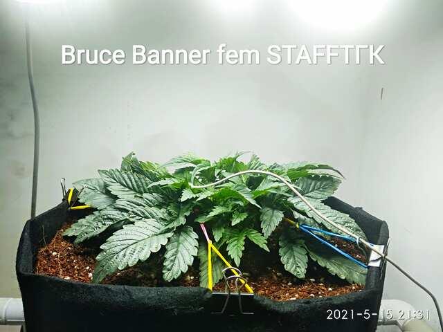 Bruce Banner fem от Бро STAFFТГК