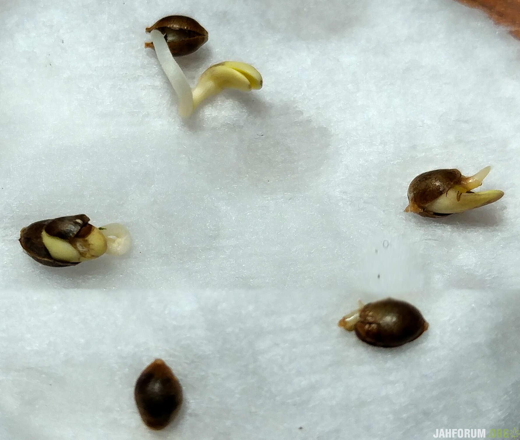 АBC Cannabis Seeds