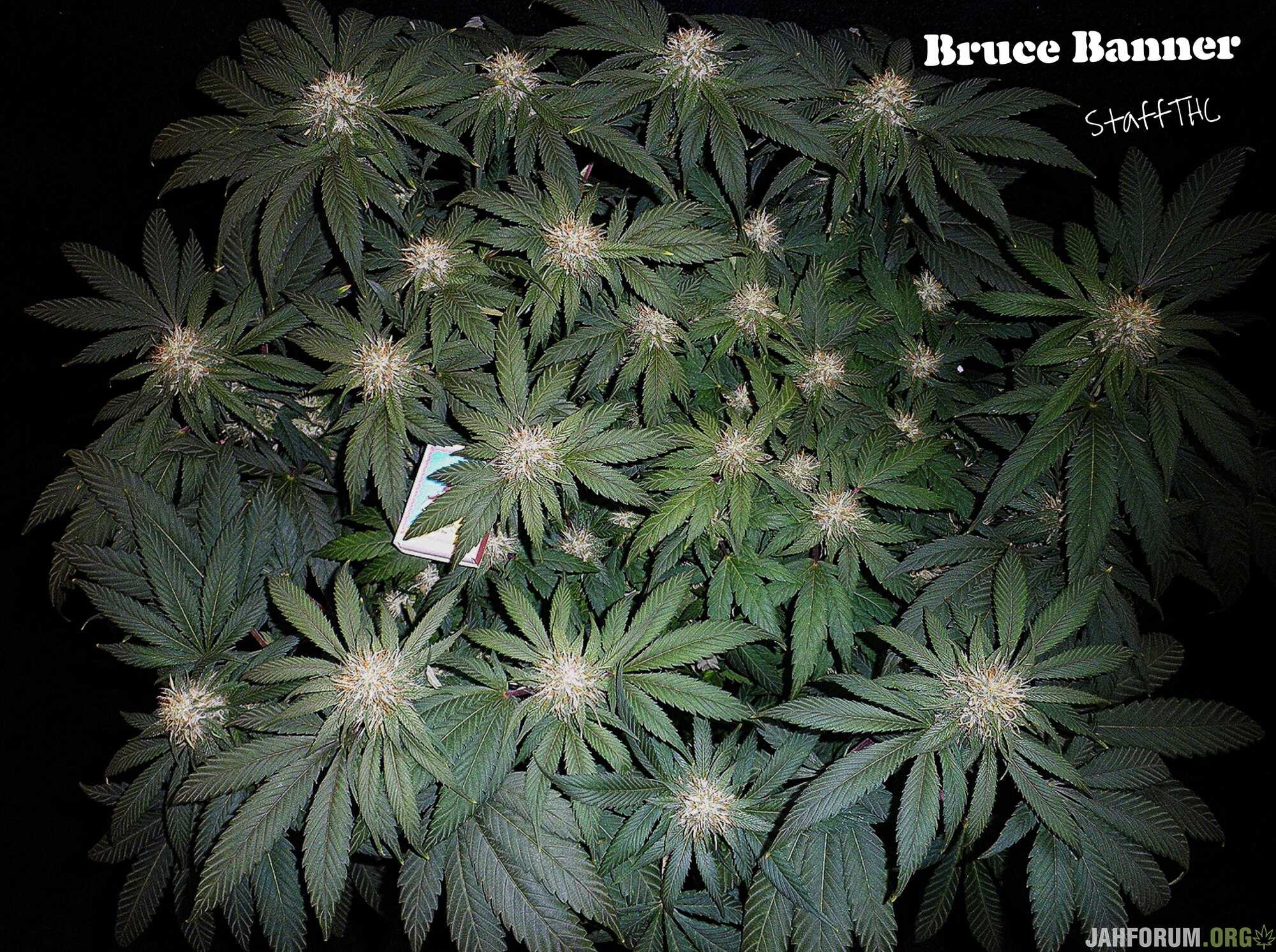 Bruce Banner f.f. от Бро StaffТГК