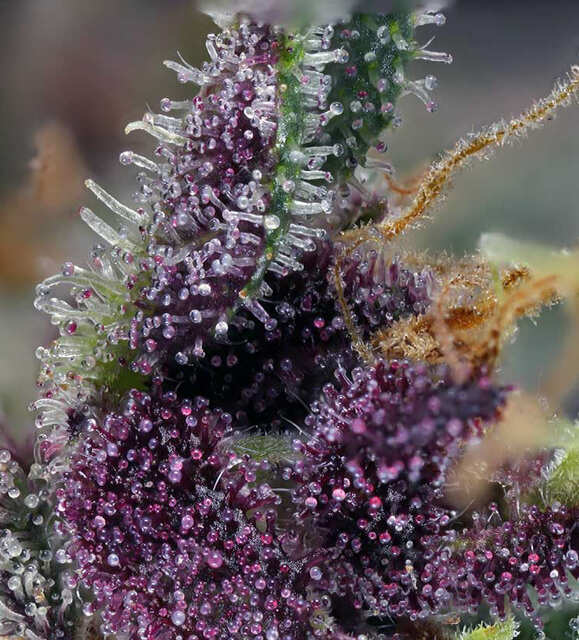 Purple Dark 2