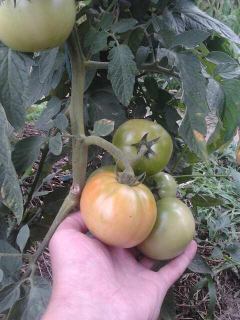 томаты SAKATA